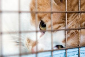 Tabby red cat looking up as he's held through the bars of his ca