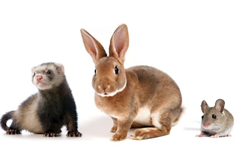 Venipuncture in Exotic Companion Mammals
