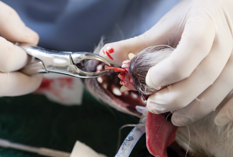 Dental Extractions: Five Steps to Improve Client Education, Surgical Procedures, & Patient Care