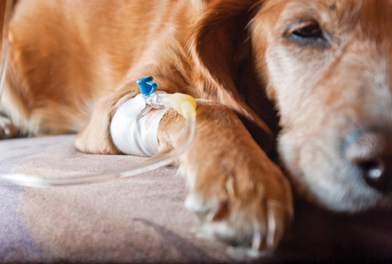 Canine Leptospirosis: A Perspective on Recent Trends