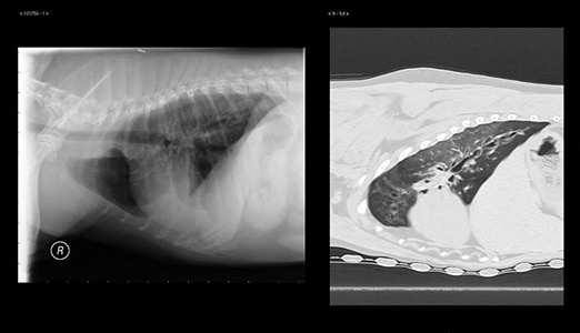 Canine Chronic Bronchitis: A Review & Update | Today's