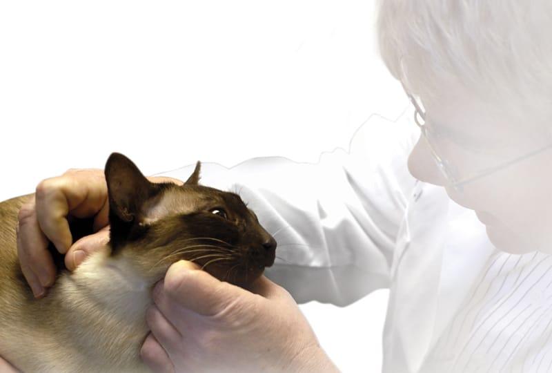 Feline Hyperthyroidism: Diagnosis & Therapeutic Modalities