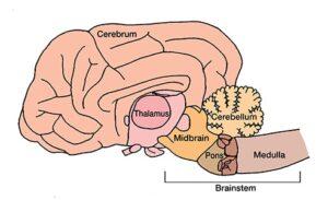 brain_LisaWirth