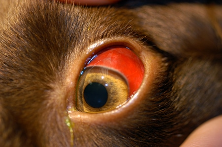 Clinical Approach to the Canine Red Eye | Today's Veterinary Practice