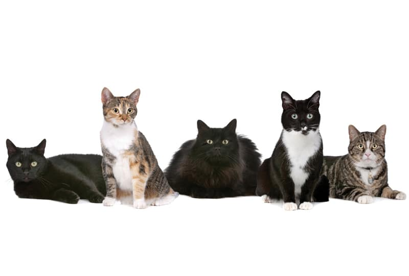 AHS Heartworm Hotline</br>Question & Answer: Heartworm Screening for Cats