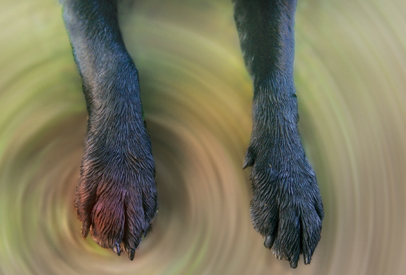 Assessing Chronic Pain In Dogs