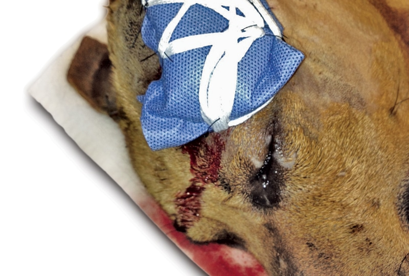 Helpful Tips For Managing Wounds In Veterinary Patients