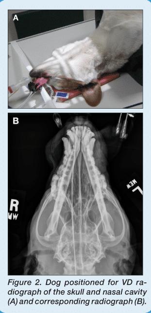 Imaging Essentialssmall Animal Skull Nasofacial. Screen Shot 20150618 At 24104 Pm. Wiring. Mouth Diagram Labeled Radiograph At Scoala.co