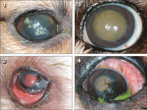 Diagnosis & Treatment of Keratoconjunctivitis Sicca in Dogs