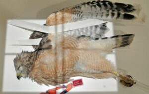 Figure 2A.Hawk.Lateral.Photo1