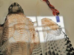 Figure 3A. Hawk.left wing.photo