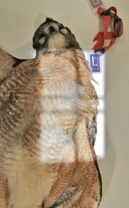 Figure 4A.Hawk.CC humerus.photo