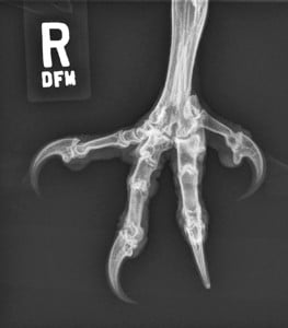 Figure 6B.Owl.lateral.claw.Rad