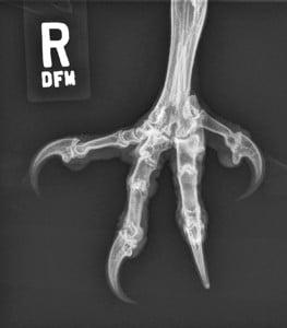 Figure 6B.Owl.lateral.claw.Rad