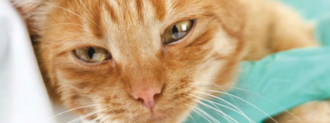 Feline Acute Pancreatitis: Current Concepts in Diagnosis & Therapy