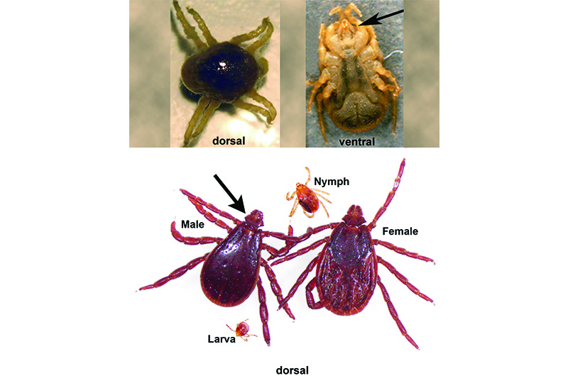 Canine Arthropods: Mites & Ticks – Recommendations from the Companion Animal Parasite Council
