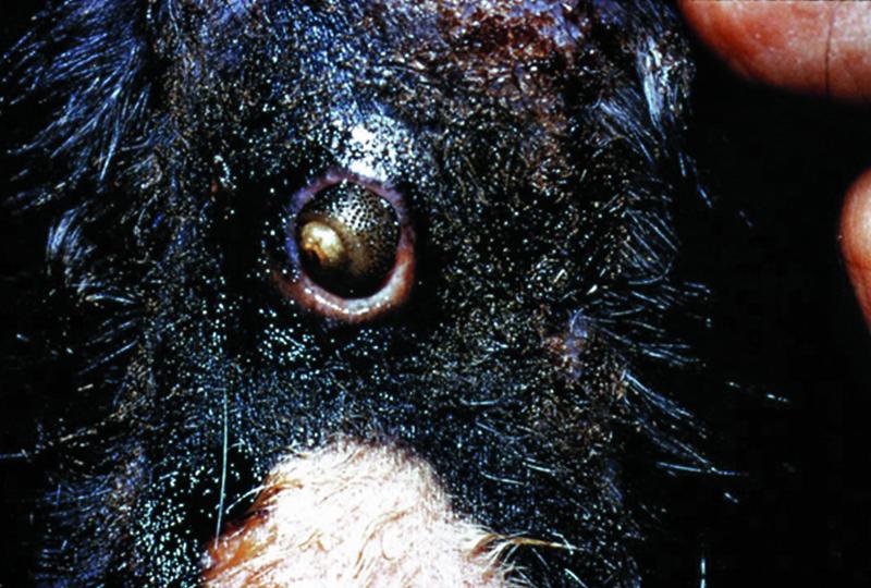 CAPC Parasite Protocols</br>Canine Arthropods: Class Insecta
