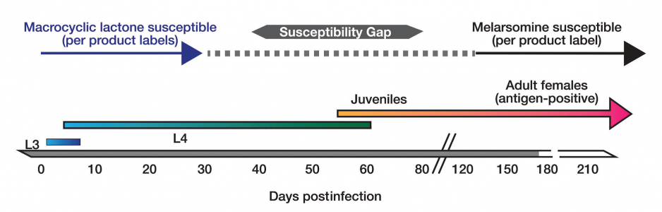FIGURE. Timeline of Dirofilaria immitis development, showing periods of susceptibility to macrocyclic lactones and melarsomine. Courtesy Merial