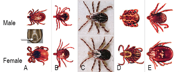 FIGURE 3. Adult stages of ixodid tick species associated with U.S. dogs: Identifi cation should include evaluation of mouthpart length. Ixodes species (A), which can transmit Borrelia burgdorferi, Anaplasma phagocytophilum, and probably the Ehrlichia muris–like agent, possess an anterior anal groove on the ventral surface (arrow) and long mouthparts; these long mouthparts differentiate A americanum (B) and A maculatum (C) from Dermacentor variabilis (D) and Rhipicephalus sanguineus (E). Courtesy National Center for Veterinary Parasitology and CAPC