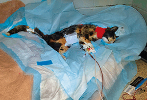 FIGURE 7. Patient with coccygeal arterial catheter; note that arterial catheters should not be maintained in cats for longer than 6 to 12 hours owing to risk for arterial thrombosis.