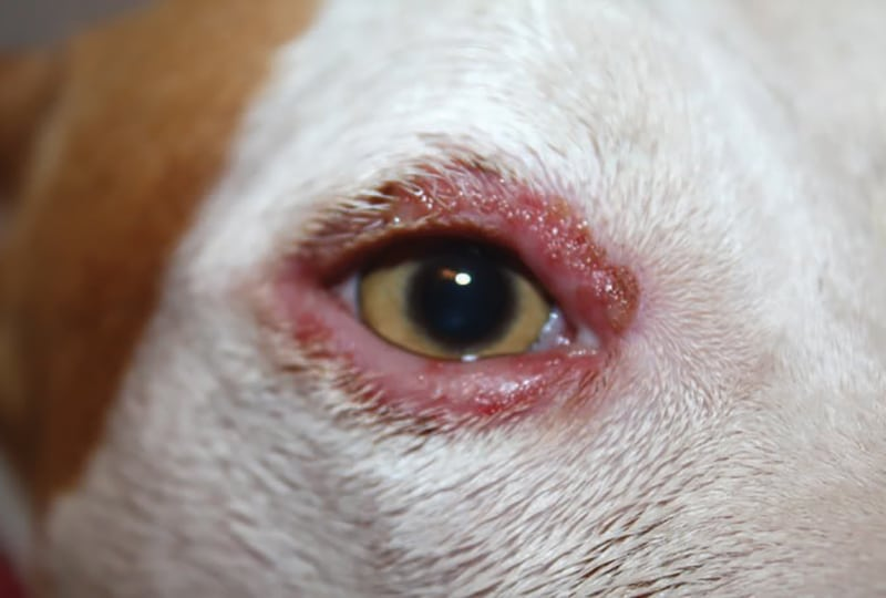 Observations in Ophthalmology: Clinical Approach to Canine Eyelid Disease: Blepharitis