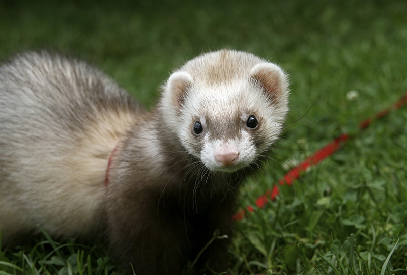 AHS Heartworm Hotline: Diagnosis, Treatment, & Prevention of Heartworm Disease in Ferrets