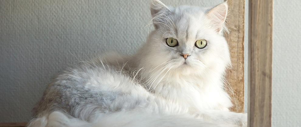 Feline Struvite and Calcium Oxalate Urolithiasis