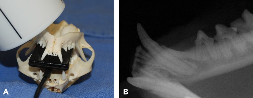 FIGURE 13. Imaging the apices of the mandibular third premolar in cats: The patient is placed in dorsal recumbency and the sensor positioned perpendicular to the teeth and at least back to the first molar; then the PID is positioned for a 45-degree bisecting angle laterally over the target teeth (A) to achieve the resulting image (B). Note: Interference from the caudal mucosa does not allow the sensor to be placed caudally enough to image the first molar; therefore, the standard parallel technique image must also be exposed.
