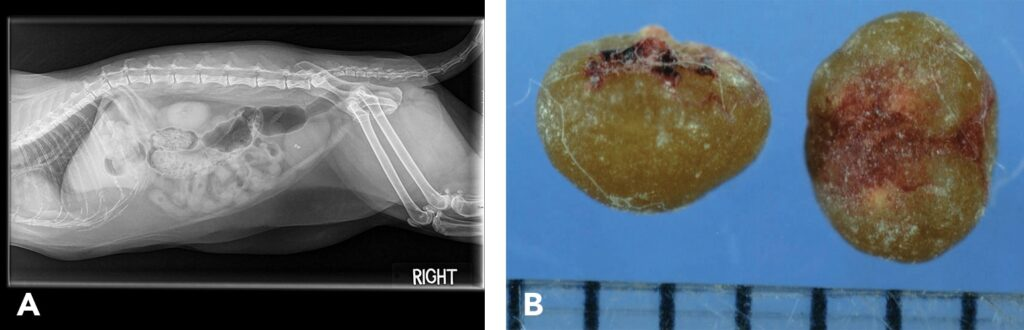 FIGURE 2. Lateral radiograph of a 9-year-old castrated male domestic longhair cat with calcium oxalate cystoliths (A); 100% calcium oxalate monohydrate cystoliths were removed from this cat (B). (Scale, 1 division = 1 mm).