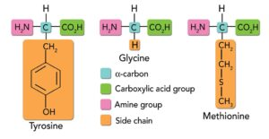 Figure. Basic structure of amino acids: Glycine is the smallest amino acid, with hydrogen its only side-chain. More complex amino acids have longer side-chains, including those with aromatic rings or sulfur, examples of which are shown in the figure.