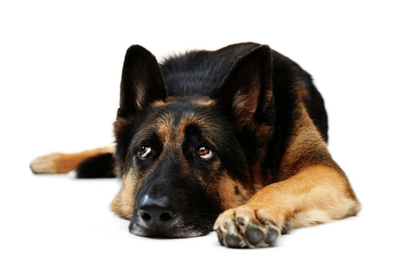 The Use of Medications in Canine Behavior Therapy