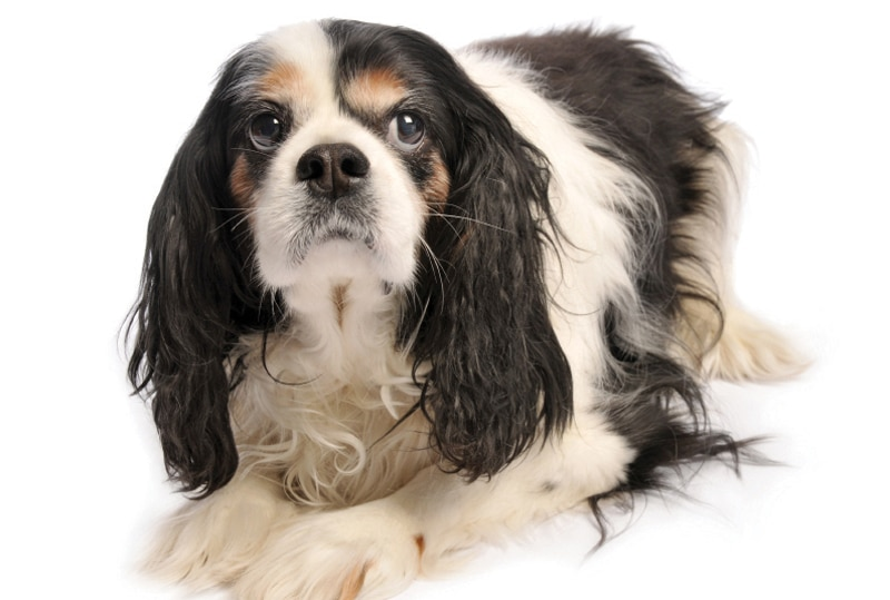 Cushing's Disease in Dogs: Diagnosis, Clinical Signs, and Laboratory Findings
