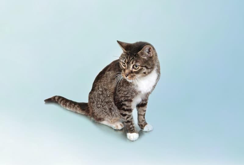 Feline Rhinitis and Upper Respiratory Disease