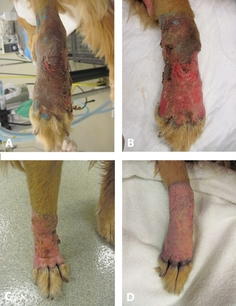 "FIGURE 3. Moist desquamation after canine patient received 19 fractions of definitive radiation therapy for soft tissue sarcoma, excised with ""dirty"" margins from the distal forelimb. The limb is swollen, and several focal areas of redness and edema can be seen (A). One week after completion of definitive radiation therapy, the reaction has become more severe, with radiating redness, edema, crusting, and serum seepage (B). Two weeks after completion, note the near-complete resolution of moist desquamation; the skin is pink and smooth with a few areas of crusts and redness (C). Four weeks after completion, clinical signs have resolved completely (D)."