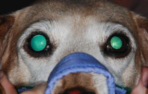 FIGURE 5. A 9-year-old, castrated male dachshund exhibiting anisocoria secondary to iris atrophy of the right eye.