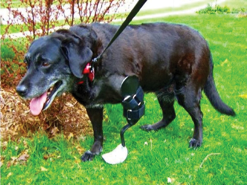 Use of Prostheses in Companion Animal Medicine – An Interview with Dr. Jacqueline Davidson