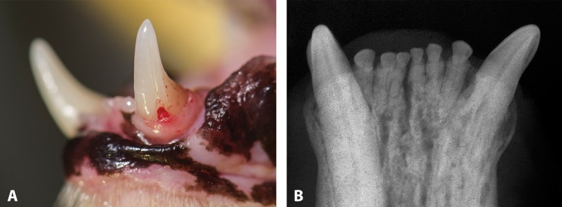 FIGURE 6. Stage 4c tooth resorption; clinical appearance of resorption of left mandibular canine root (A) and radiograph confirming that the root demonstrates more resorption than the crown (B).