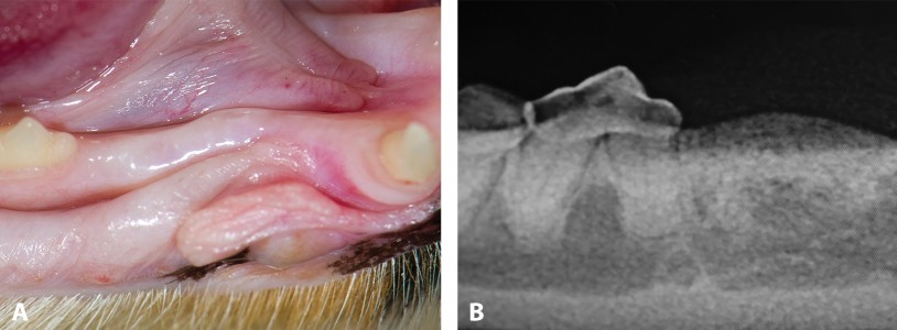 FIGURE 7. Stage 5 tooth resorption; clinical appearance in right mandibular third premolar (A) and radiograph confirming Stage 5 tooth resorption (B).