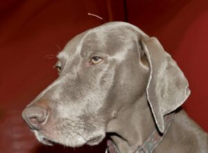 FIGURE 1. An acupuncture needle has been placed in this Weimaraner at GV-20, a common acupuncture point that is associated with sedation.
