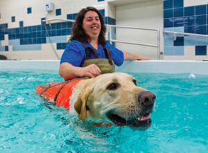 FIGURE 4. A Labrador retriever receives hydrotherapy following a forelimb amputation for osteosarcoma. Swimming increases the active range of motion of some joints and provides low-impact activity. Courtesy University of Florida College of Veterinary Medicine