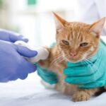 yellow cat with broken leg