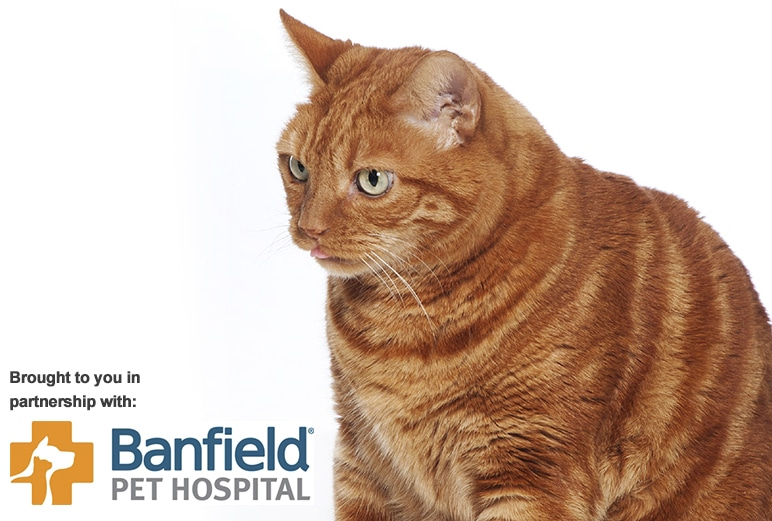 Pet Health By the Numbers </br>Feline Ocular Conditions