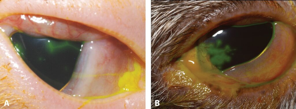 FIGURE 4. Dendritic ulcer (A and B); note the classic, linear branching corneal ulceration with conjunctival hyperemia and chemosis, characteristic of FHV-1 infection.
