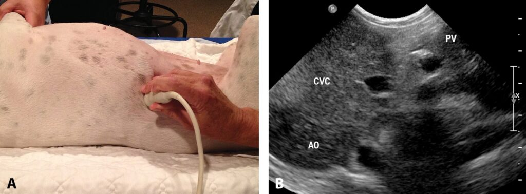 FIGURE 9. Dog in dorsal recumbency, with the ultrasound transducer positioned in a transverse imaging plane at the level of the 11th intercostal space and the notch pointing dorsally (A); in this image of the same dog (B), the aorta (AO), caudal vena cava (CVC), and portal vein (PV) can be seen in cross-section from the left to right side.