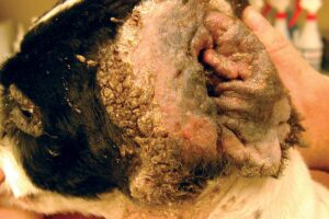 FIGURE 5. Mixed bacterial otitis externa in a springer spaniel.