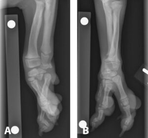 FIGURE 1. An 11-week-old, male beagle presented for evaluation of left forelimb lameness. Diagnosis is ectrodactyly of the left manus with absence of the second and third carpal bones. Lateral (A) and craniocaudal (B) views of the left distal antebrachium; note that only 3 digits are present on the left manus. The base of the presumed fifth metacarpal is located more laterally and caudally, and this bone is articulating with the presumed ulnar and fourth carpal bone. Courtesy University of California–Davis Veterinary Medical Teaching Hospital