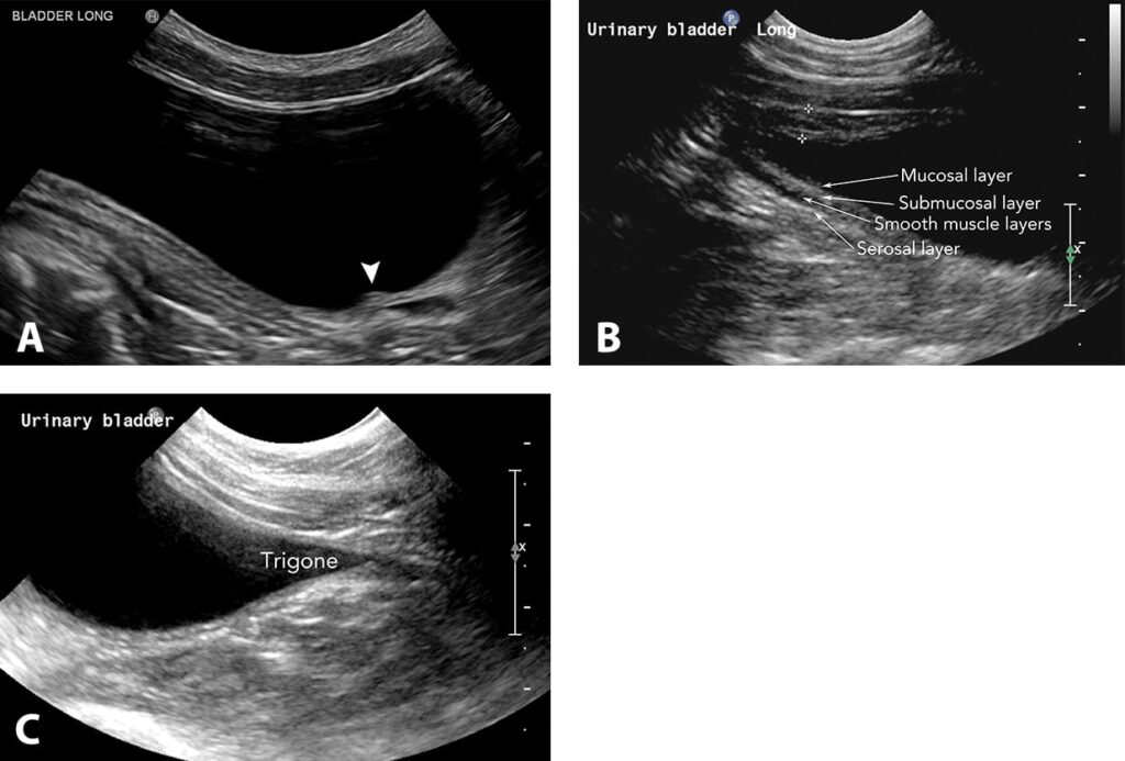 FIGURE 2. Long-axis sagittal images of the ureteral papilla (arrowhead in A), normal wall layering (B), and trigone region (C) of the urinary bladder in a dog.