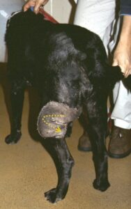 "FIGURE 6. Labrador retriever with left CSE flap; the distal aspect is folded to form a ""paddle"" to reconstruct a large caudal thigh defect after wide excision of a malignant tumor. Yellow dashed arrow depicts the folded distal end of the flap."
