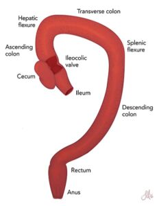 FIGURE 5. Anatomy of the canine large intestine. Courtesy Savannah Mauragis