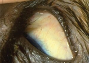 FIGURE 3. The sclera of the feline immune-mediated hemolytic anemia patient.